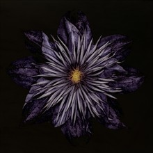 Close-up Of Clematis Flower Pe...