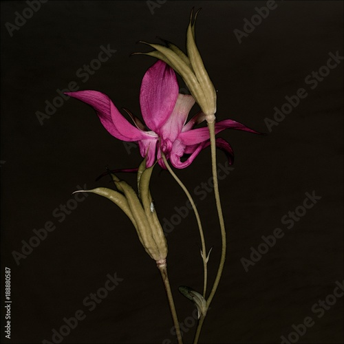 Close-up side view of pink common columbine akelei flower and stem