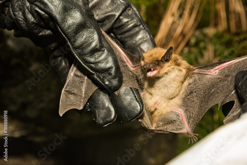 Photo A wildlife biologist checking the wings of a Big Brown Bat for signs of White-nose Syndrome