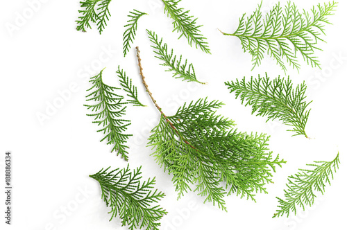 Photo a twig of cypress on a white background