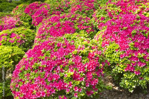 Foto op Canvas Azalea Azalea garden in Nezu shrine