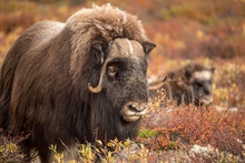 Musk Ox At Dovre Mountain In N...