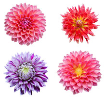 Colection Dahlia Flowers Isolated On White Background