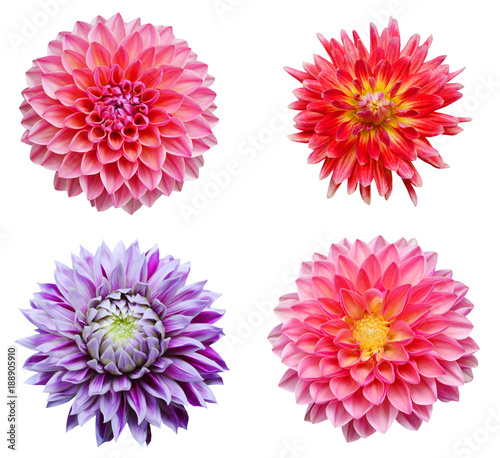 Leinwand Poster colection dahlia flowers isolated on white background