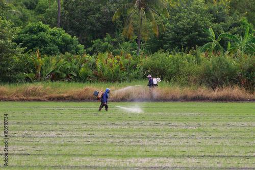 La pose en embrasure Equitation Farmer Walking injecting pesticides in rice fields.