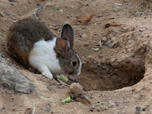 White And Brown Rabbit In Fron...