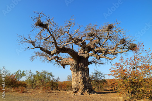 Baobab tree during the dry season, Kruger National Park, South Africa