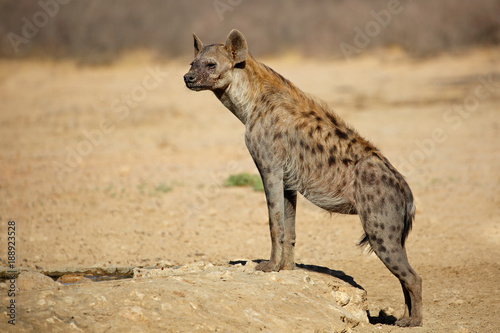 Spoed Foto op Canvas Hyena A spotted hyena (Crocuta crocuta) in natural habitat, Kalahari desert, South Africa