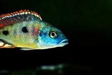 Malawi Cichlid Colorful Fish