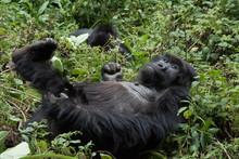 Mountain Gorilla Resting In Fo...