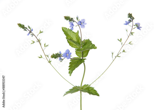 Veronica Plant Isolated On White Background Buy This Stock Photo