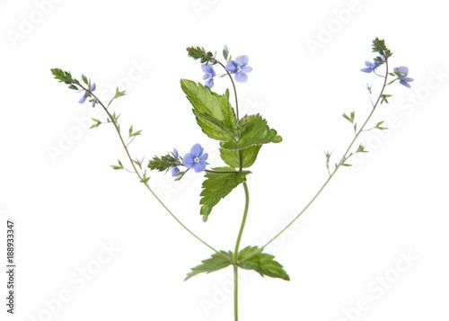 Veronica plant isolated on white background buy this stock photo veronica plant isolated on white background mightylinksfo