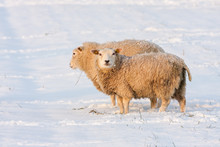 Dutch Winter Landscape With Sh...
