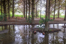 Swamp Cypress (Taxodium Distic...