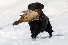 Pheasant Hunting With Black Do...