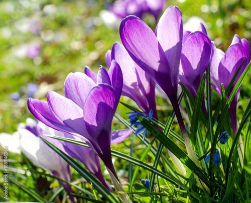 Canvas Prints Crocuses Frühlingserwachen, Ostergruß, Blütenzauber, Alles Liebe, Blütenmeer, Glück, Freude: Wiese mit zarten Krokussen :)