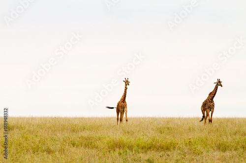Poster Cerf The giraffe (Giraffa), genus of African even-toed ungulate mammals, the tallest living terrestrial animals and the largest ruminants, part the Big Five game animals in Serengeti, Tanzania