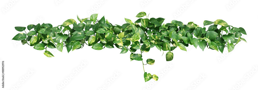 Fototapeta Heart shaped green yellow leaves of devil's ivy or golden pothos isolated on white background, clipping path included.