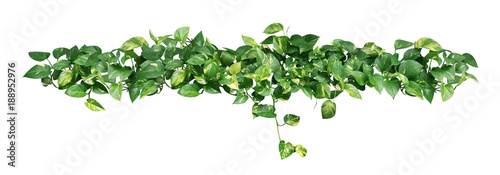 Heart shaped green yellow leaves of devil's ivy or golden pothos isolated on white background, clipping path included.