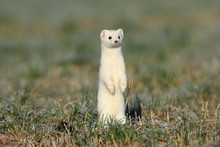 Stoat (Mustela Erminea),short-...