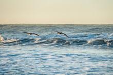 Pair Of Brown Pelicans Soaring...
