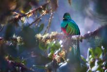 Threatened Resplendent Quetzal...