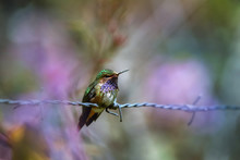Volcano Hummingbird, Selasphorus Flammula, Rare Bird, Endemit To Mountains Of Costa Rica And Panama. Male Perched On Barbed Wire Against Colorful, Blurred Forest. Cordillera De Talamanca, Costa Rica.