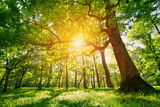 Fototapeta Natura - old oak tree foliage in morning light with sunlight