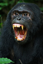 Pan Troglodytes - A Commun Eastern Chimpanzee, With An Open Mouth, Showing Its Enormous Canines In Kibale National Park, Uganda.