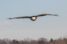 Bald Eagle (Haliaeetus Leucocephalus) Flying Over The Forest Toward The Camera, With Feather Tips Bristling On The Wind, Iowa, USA
