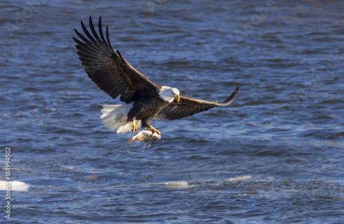 Garden Poster Eagle Bald eagle (Haliaeetus leucocephalus) hunting fish at Mississippi River, Iowa, USA