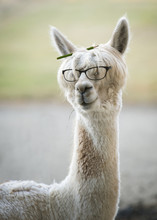 Funny Alpaca With Reading Glas...