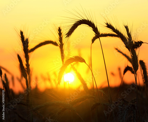 Foto op Canvas Geel Wheat field on sunset background. Mature ears of wheat close-up against the backdrop of the setting sun