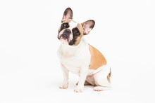 Portrait Of A French Bulldog O...