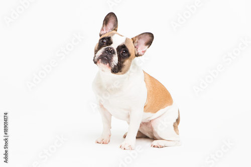 Photo sur Aluminium Bouledogue français portrait of a French bulldog on a white background. cheerful little dog with a funny face sitting