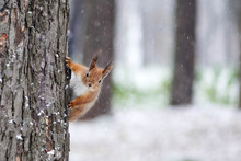 A Squirrel In A Park Climbs A Tree