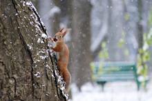 A Squirrel In A Park Climbs A Tree
