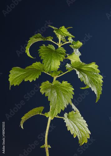 Fotografie, Obraz  Stinging nettle twig