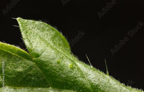 Fotografie, Obraz  Stinging hair of nettle