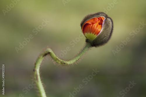 Foto knospe einer Mohnblume kurz vor dem aufblühen