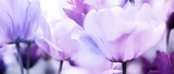 Fototapeta Flowers - tulips pink violet ultra light