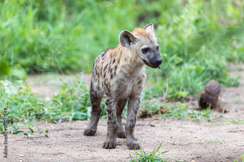 In de dag Hyena Hyena