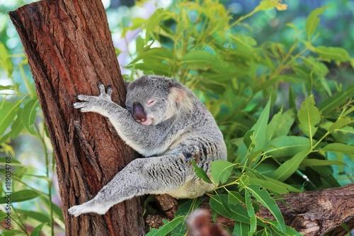Garden Poster Koala schlafender Koala