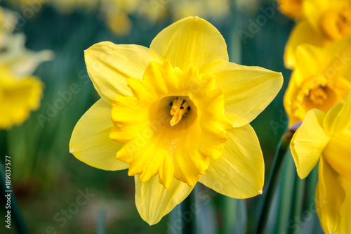 Deurstickers Narcis A Daffodil