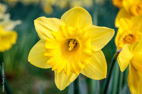 Foto op Plexiglas Narcis A Daffodil