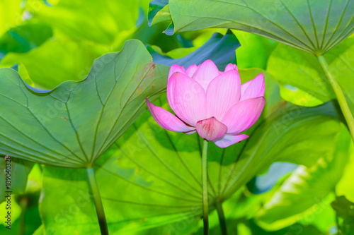 The Lotus Flowerckground Is The Lotus Leafooting Location Is