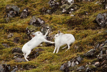Mountain Hares Fighting