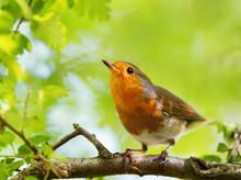 Close-up Of European Robin Per...