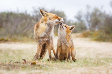 Red Fox. Vixen With Cub