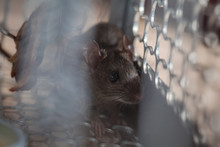 Rat Trapped In A Cage Mouse Tr...